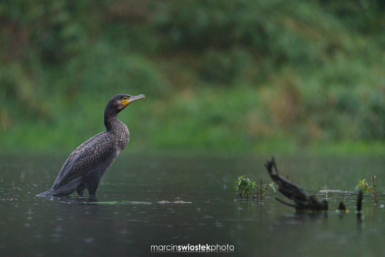 Great cormorant by Marcin Świostek