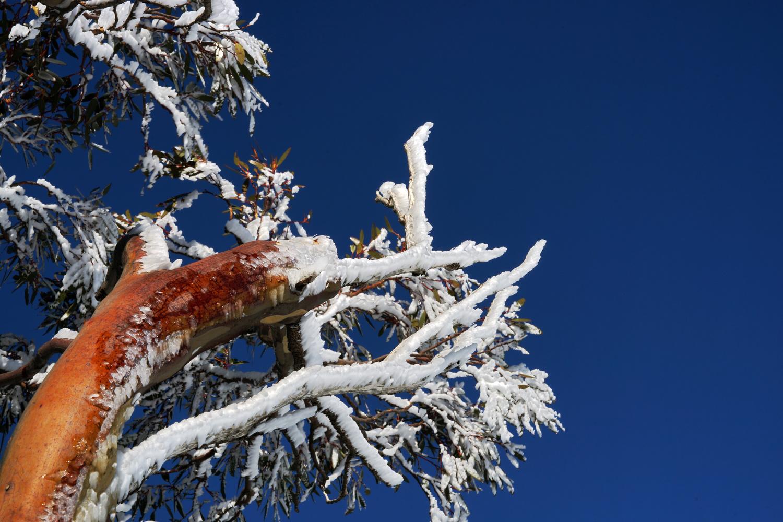 Snow Gum by Wojciech Grencer