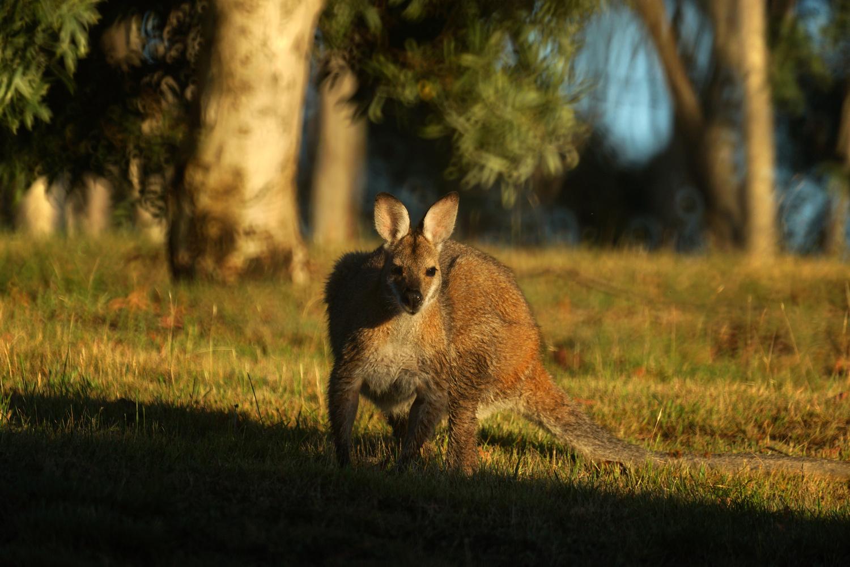 Curious kangaroo by Wojciech Grencer