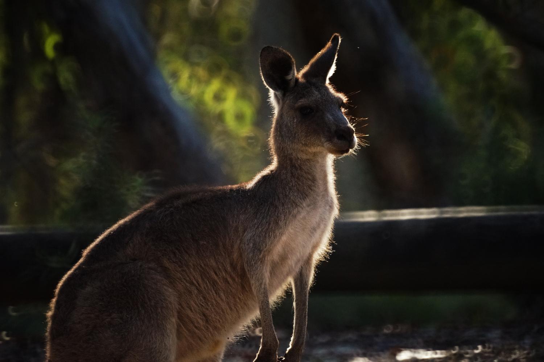 Kangaroo portrait by Wojciech Grencer