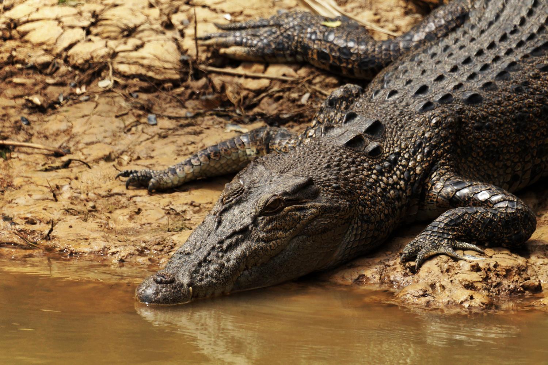 Saltwater crocodile by Wojciech Grencer