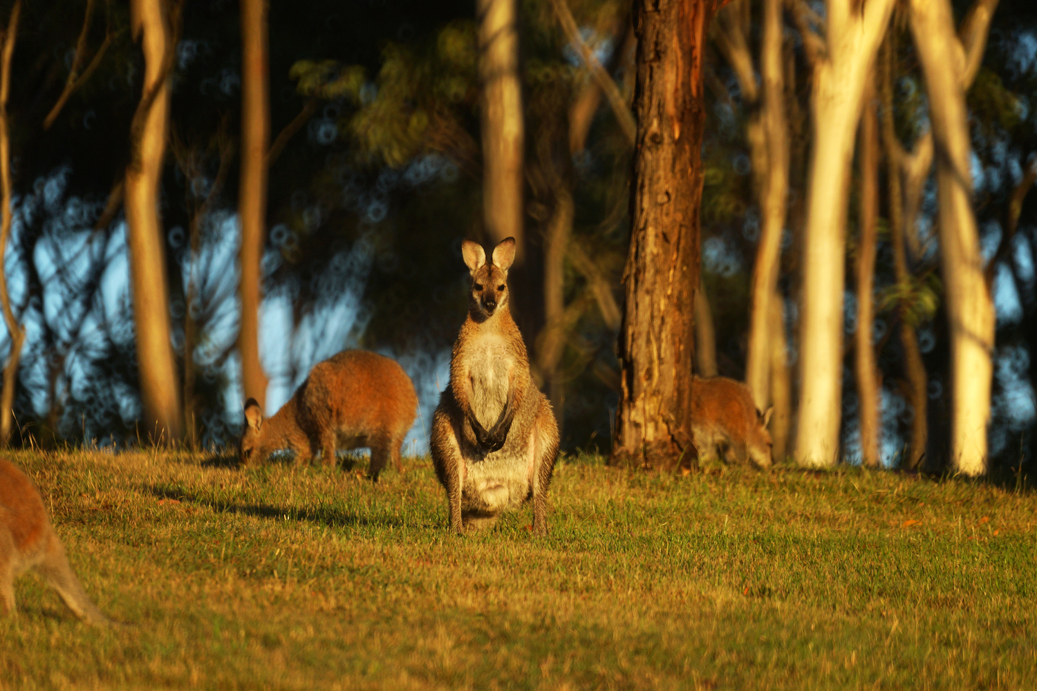 Kangaroo on the watch by Wojciech Grencer