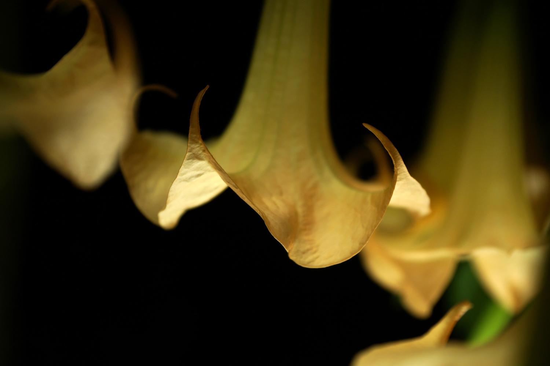 Angel trumpets by Wojciech Grencer