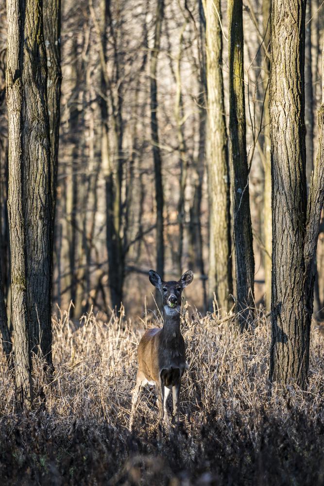 Fall deer by Andrew Neri