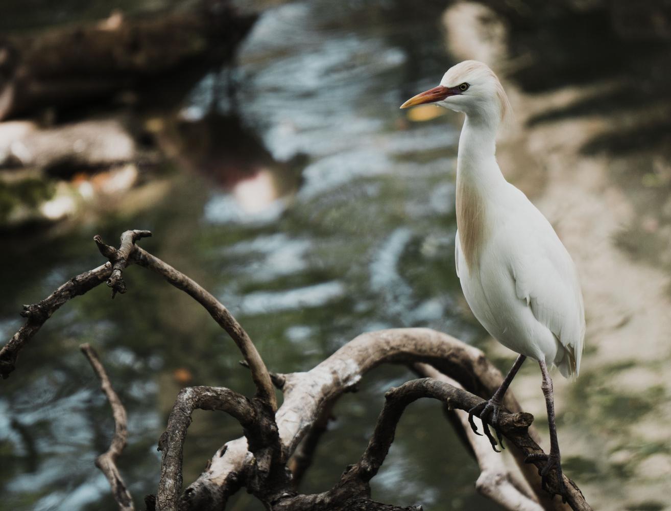 Cattle Egret by Dereck Smith