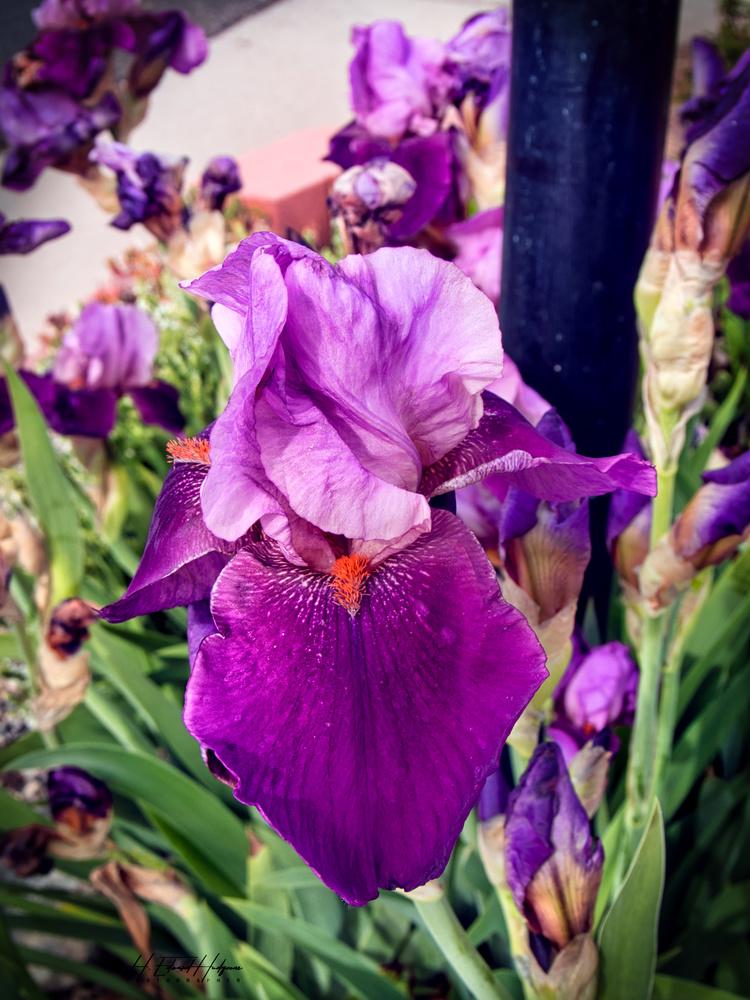 Iris by Edward Hudgeons