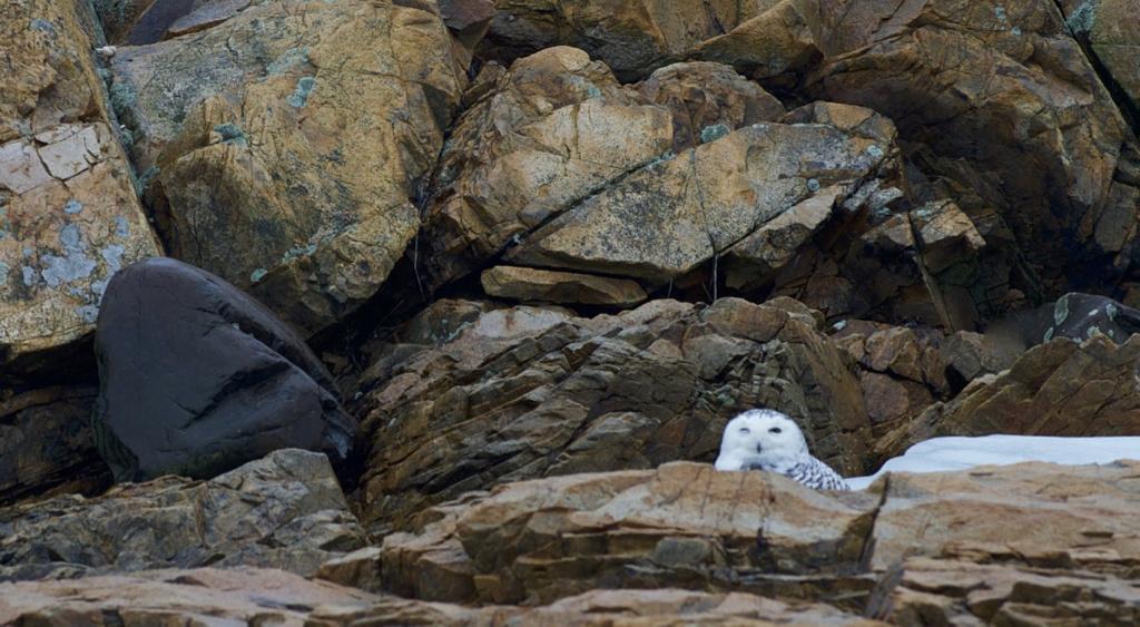 Snowy Owl by John Taylor