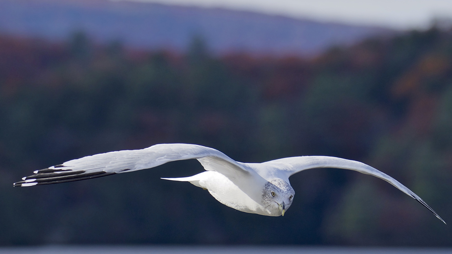Gull Looking by John Taylor