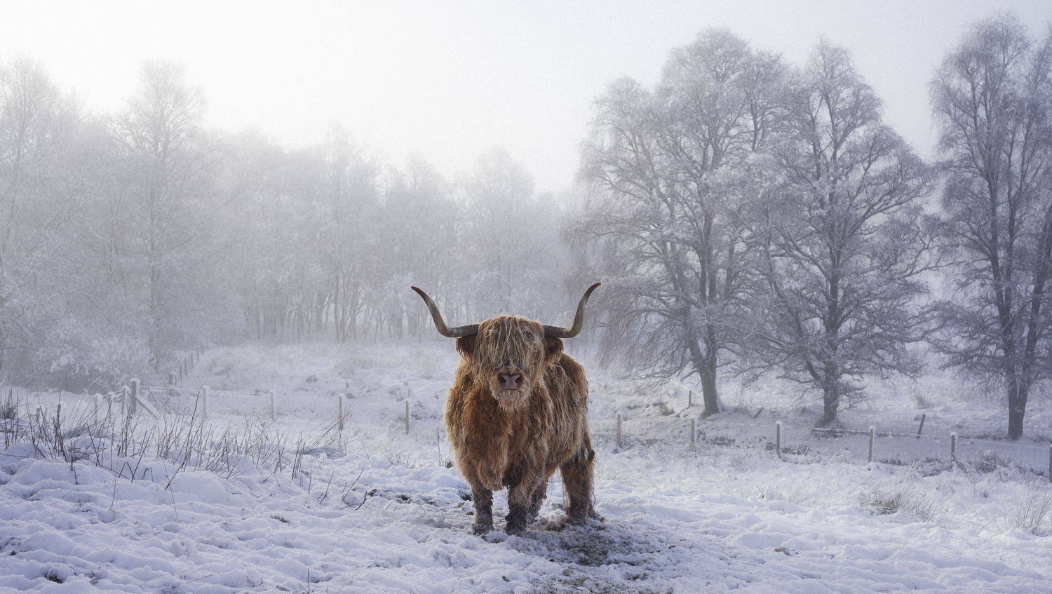 Highland Cow by TYLER YATES