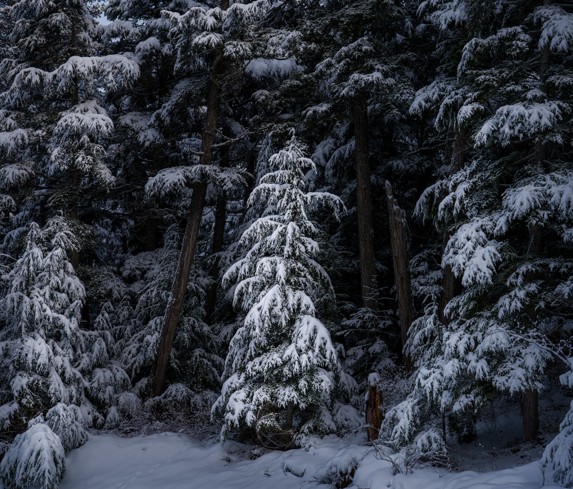 Winter Forests by TYLER YATES