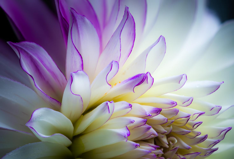 White and Purple Dahlia by Ron Schwartz