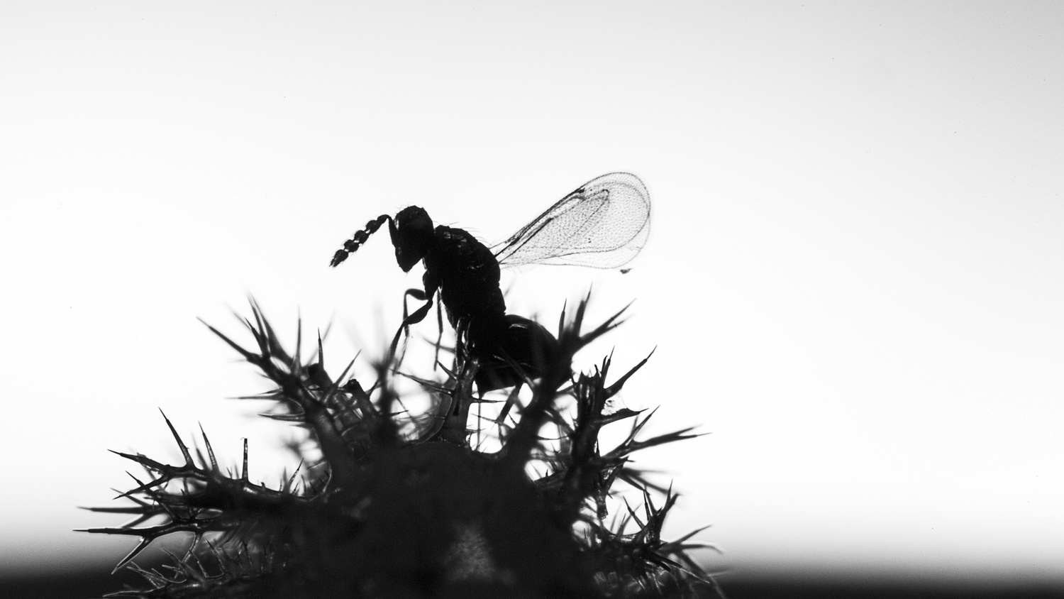 Parasitic wasp and host by Hannier Pulido
