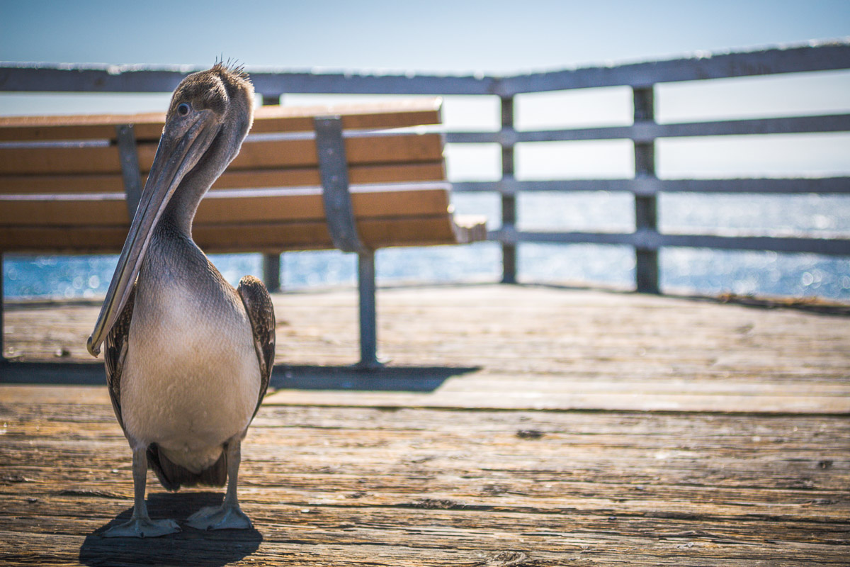 Pelican by Dan Williams