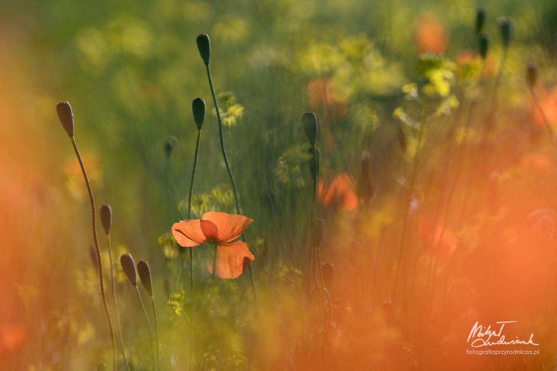Poppies by Michał Ludwiczak