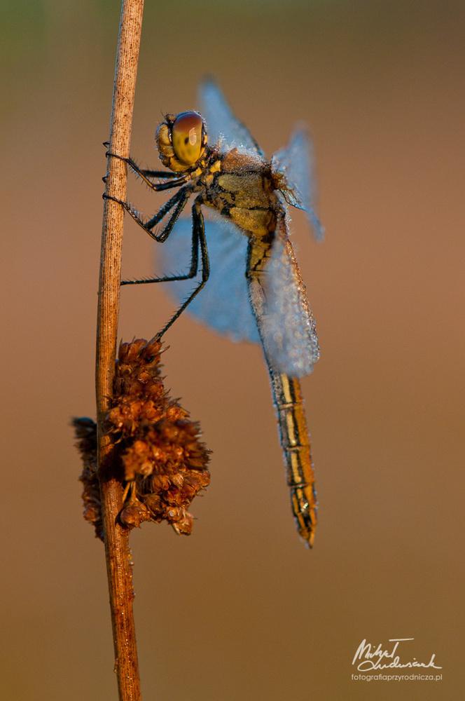 Dragonfly by Michał Ludwiczak
