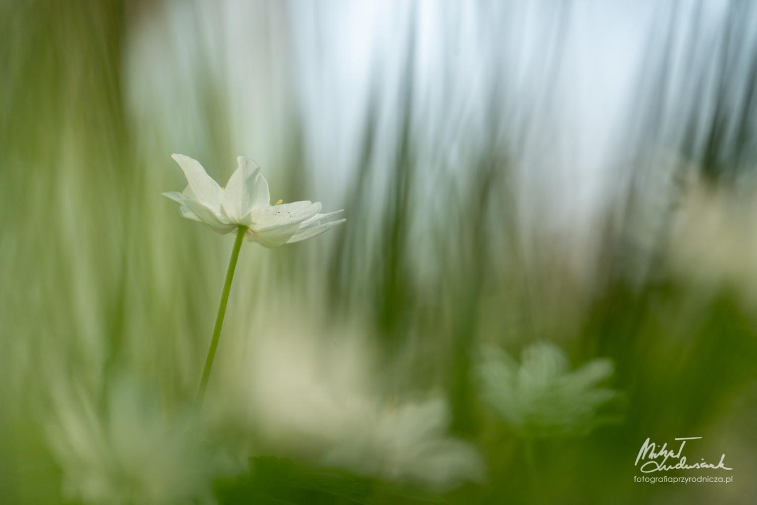 Anemone dreams by Michał Ludwiczak