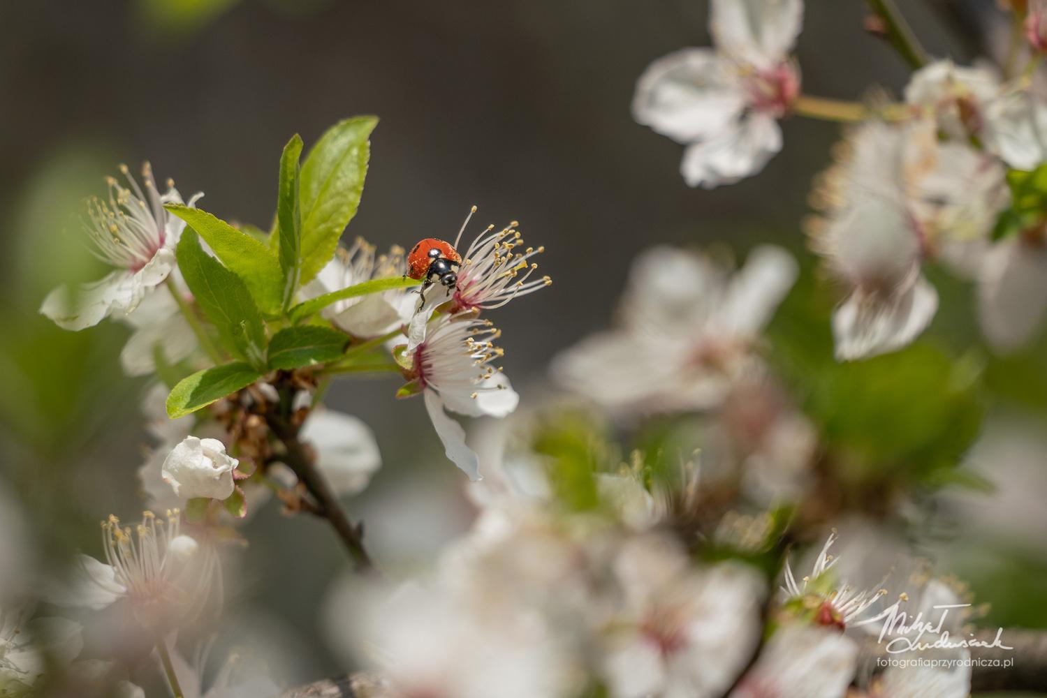 Ladybug by Michał Ludwiczak