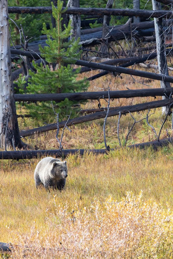 Brown Bear In Field by Kurt Hummel