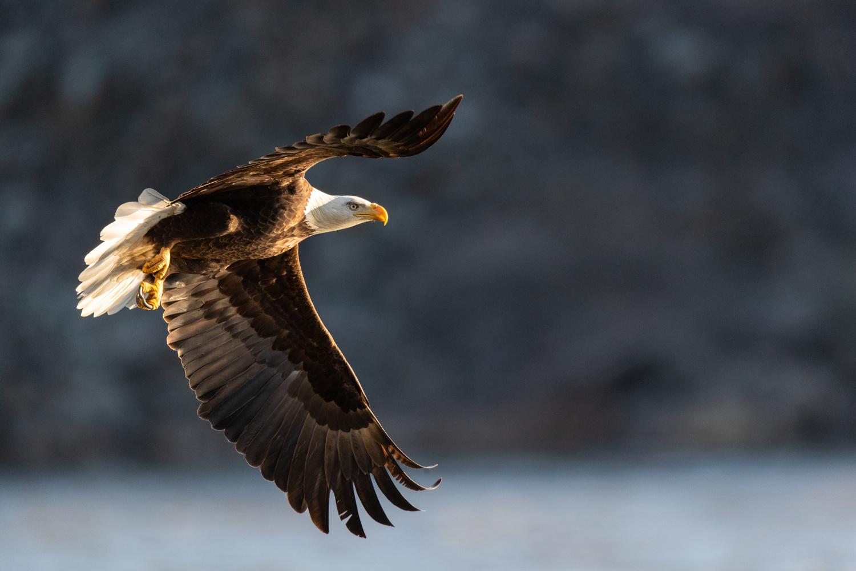 Bald Eagle In Early Light by Kurt Hummel