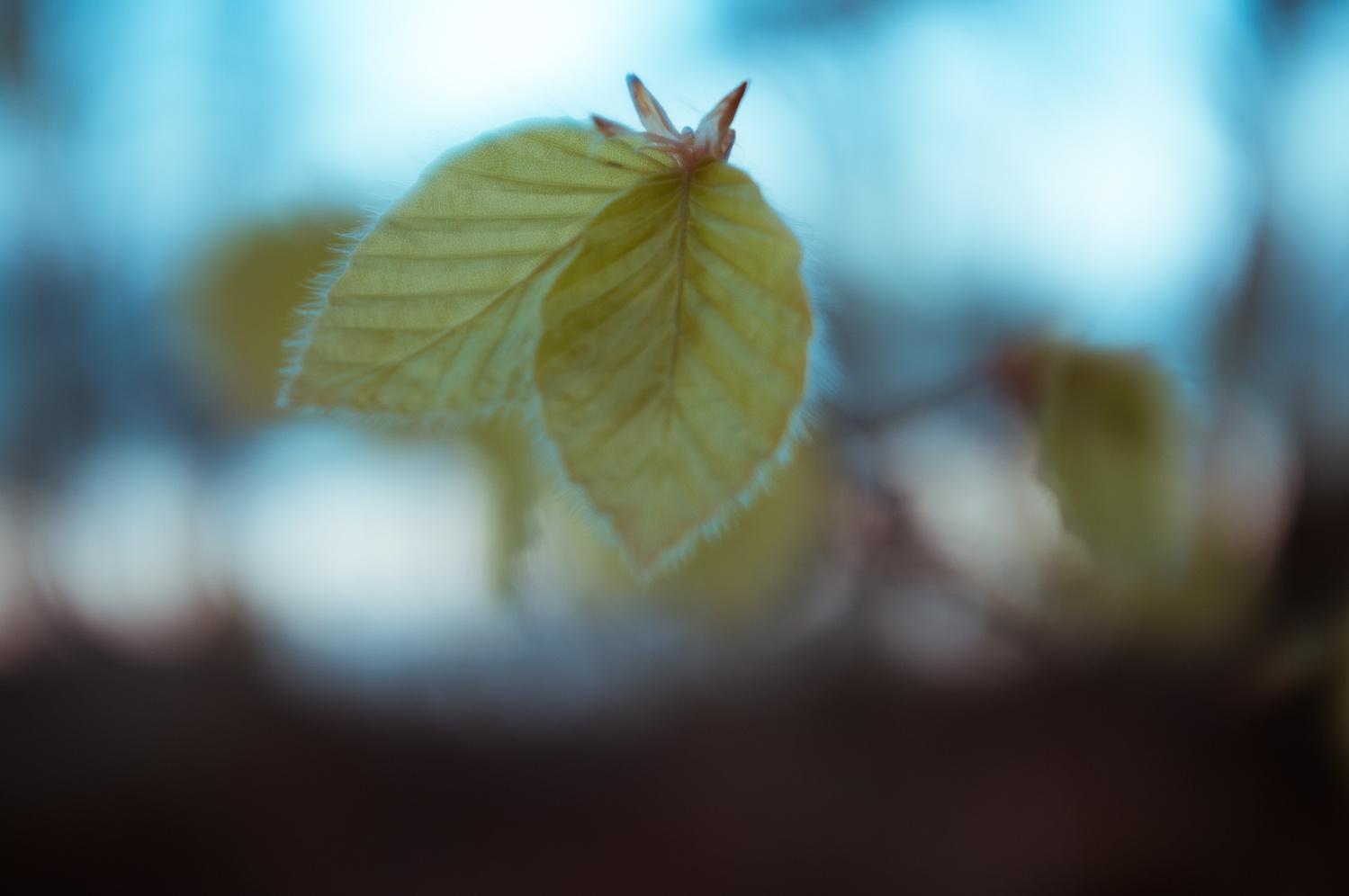 buchenblätter by rene scheidt