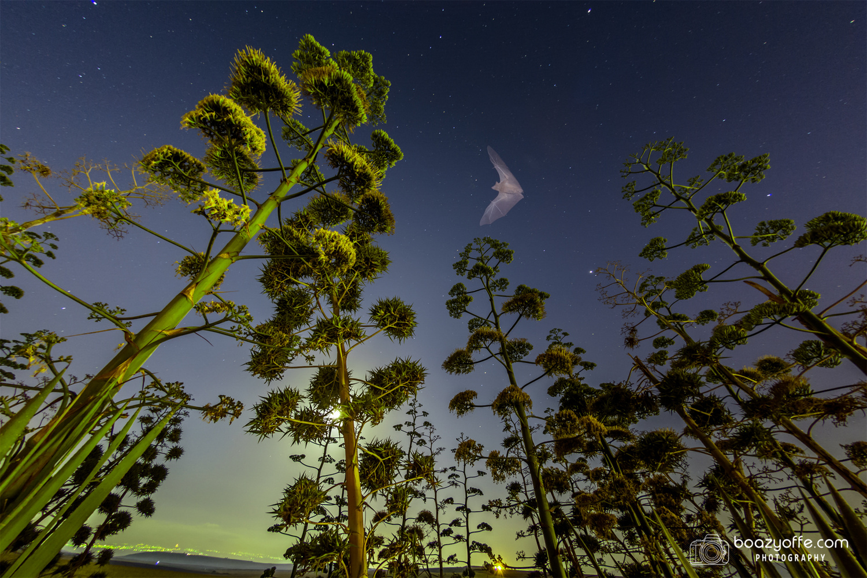 Bat Hunting at midnight by Boaz Yoffe