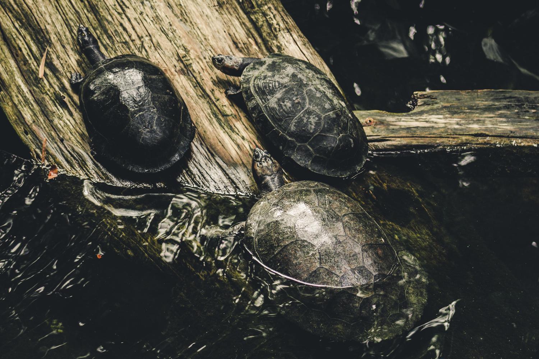 Turtles by Shane Saddler