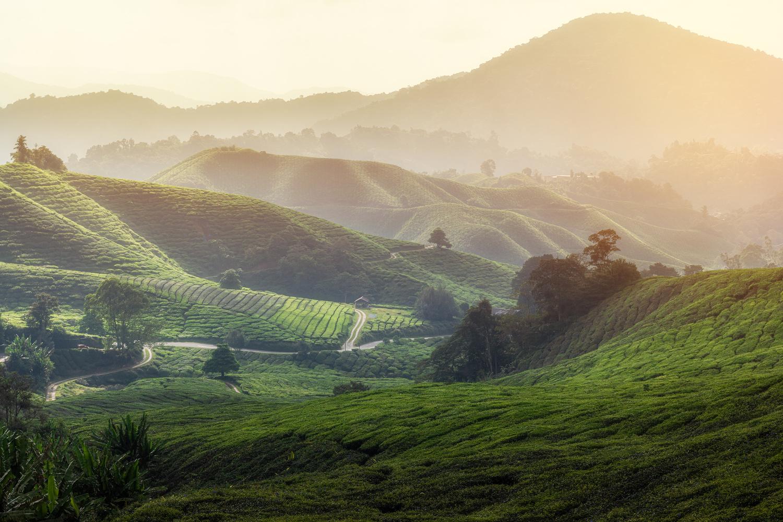 Malaysian tea fields by Mike Huberts