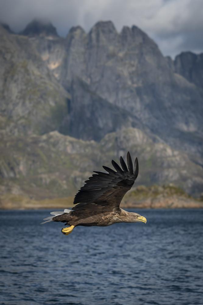 Sea Eagle inflight by Thijs Spuijbroek