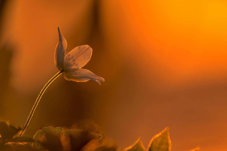 Windflower by Ralf von Samson
