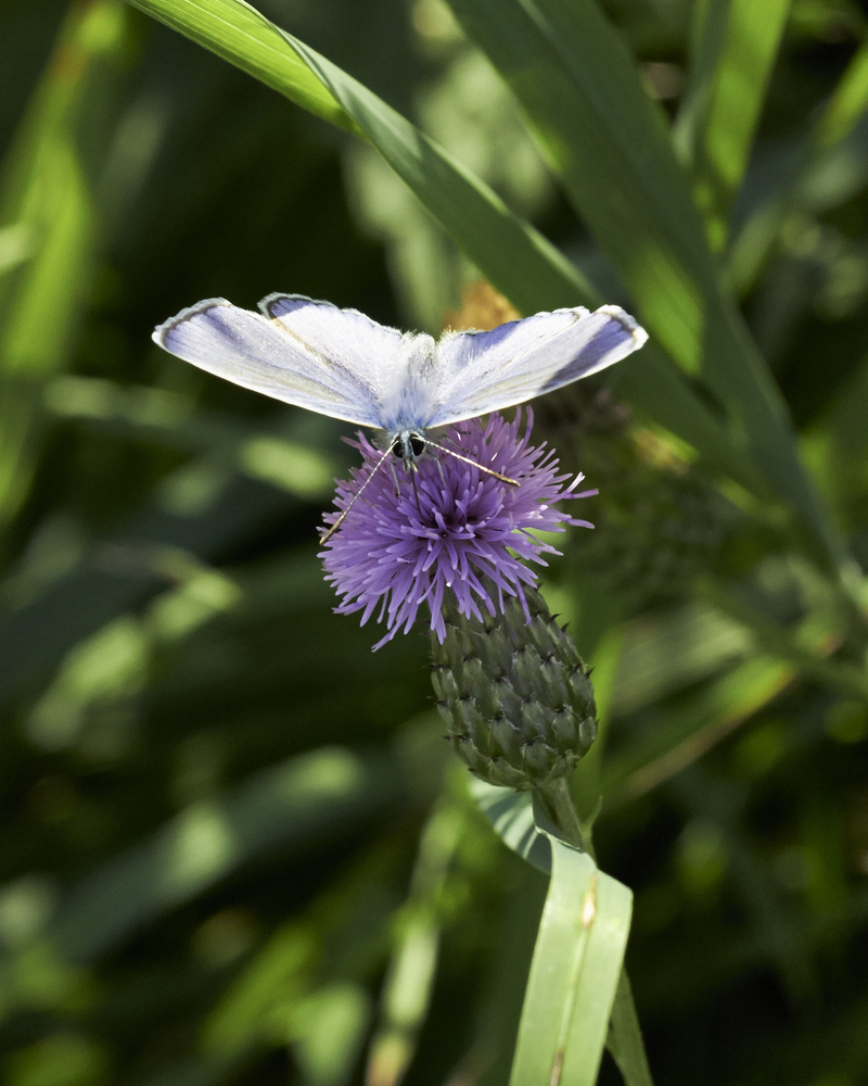 Polyommatus icarus by Klaus Scherer