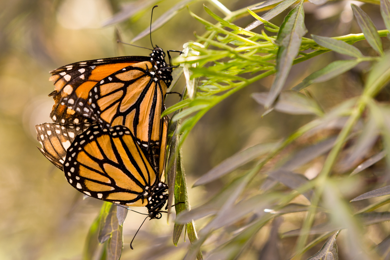 A Butterfly Pair by Kyle Rosenmeyer