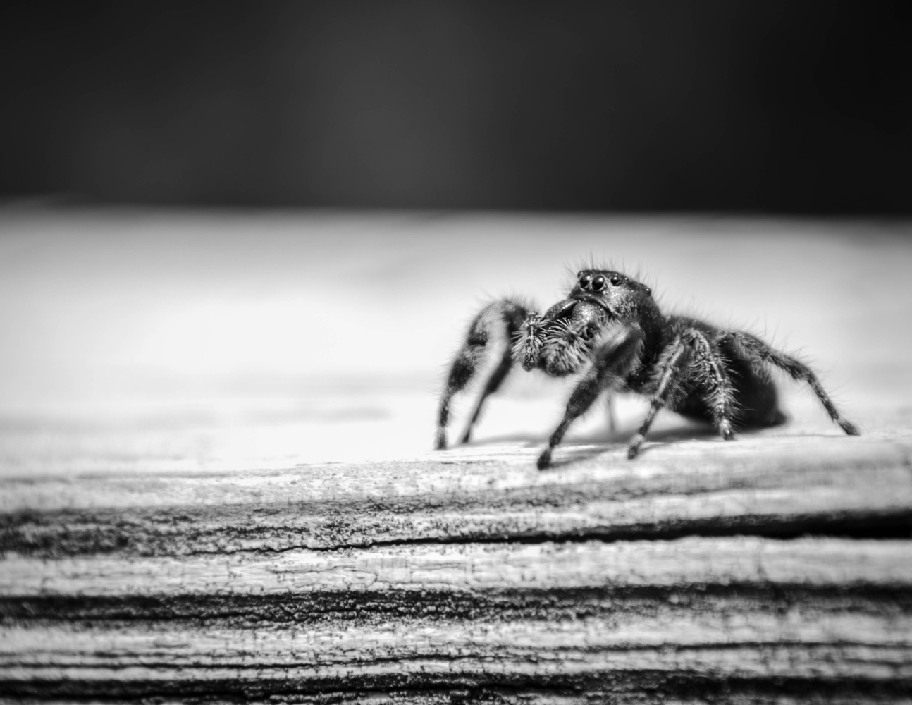 Jumping Spider by Nathan Ruby