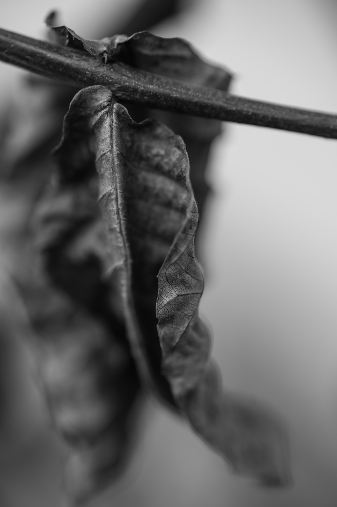 Shriveled Leaf by Nathan Ruby