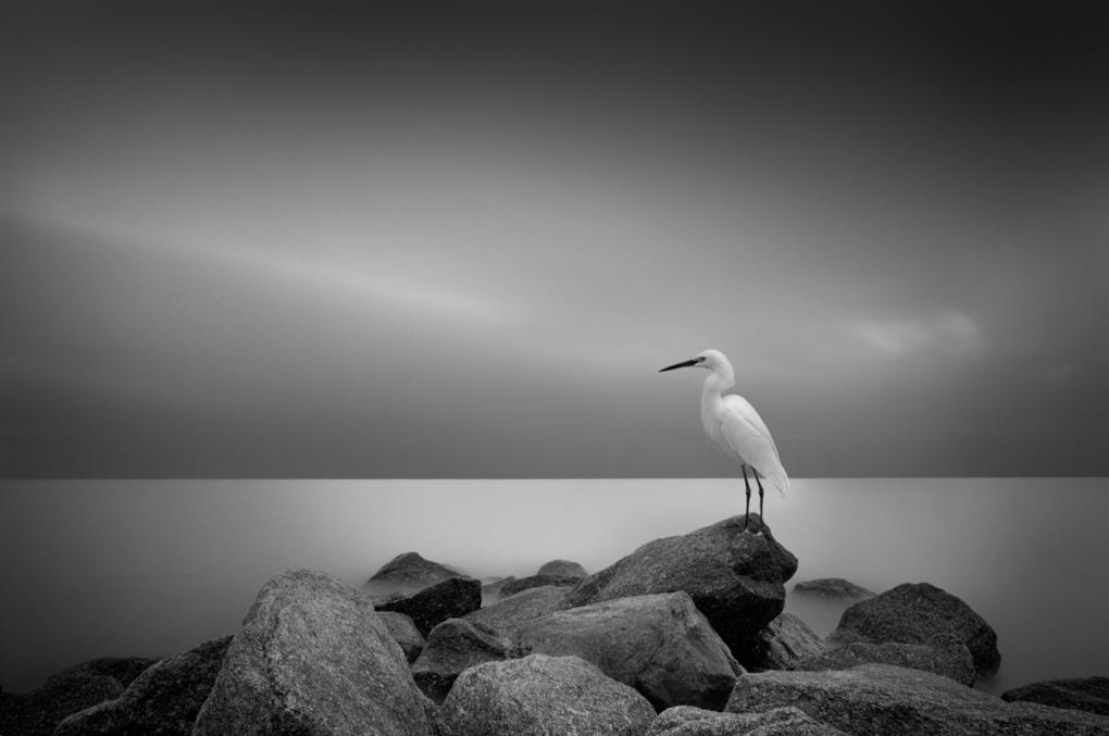 Snowy Egret by Dennis Ramos