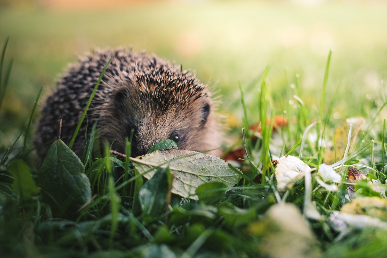 Hedgehog by Holger Vaga