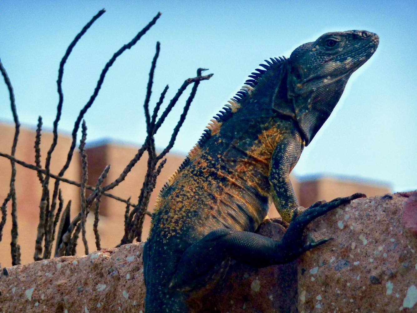 Iguana by Devon Crull