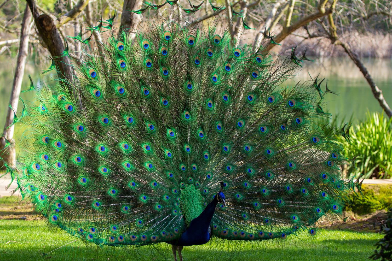Peacock by Allen Welsch