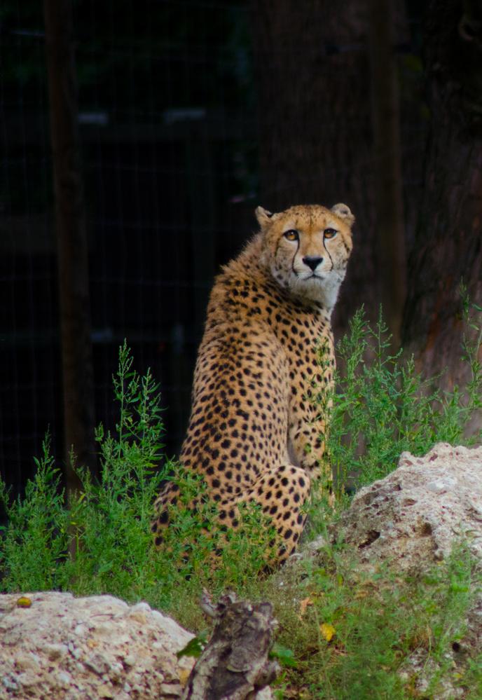 Cheetah by Aatish Shekhar