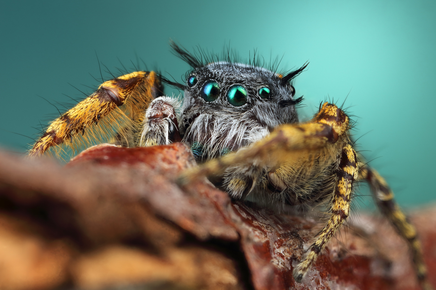 Male Phidippus mystaceous  by Andres Moline