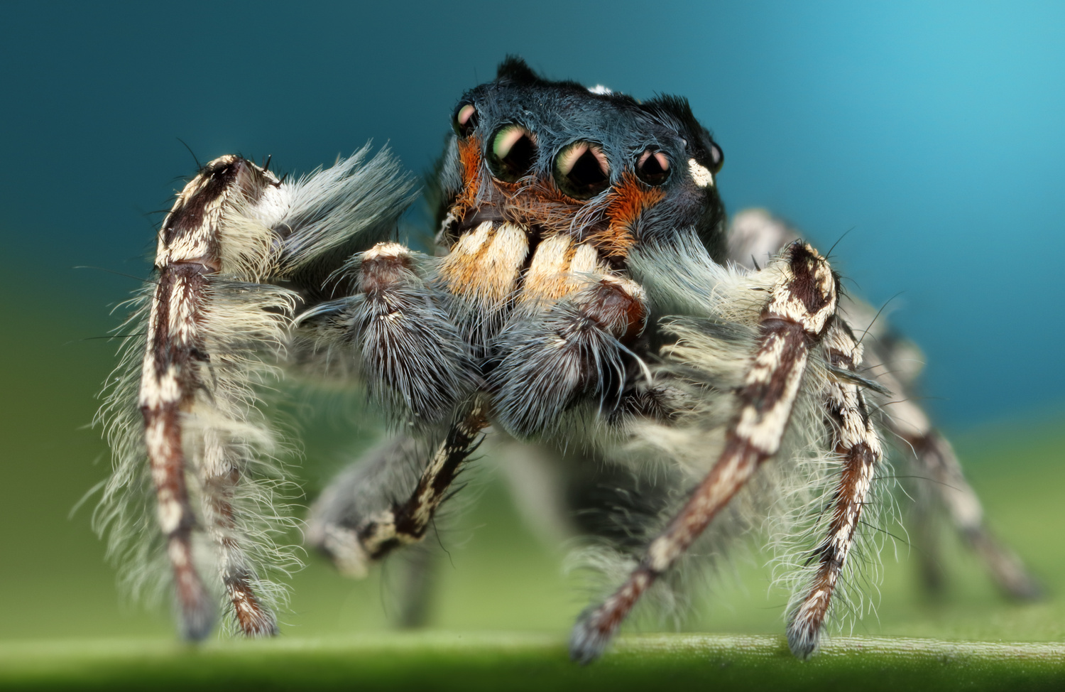 Male Phidippus Putnami  by Andres Moline