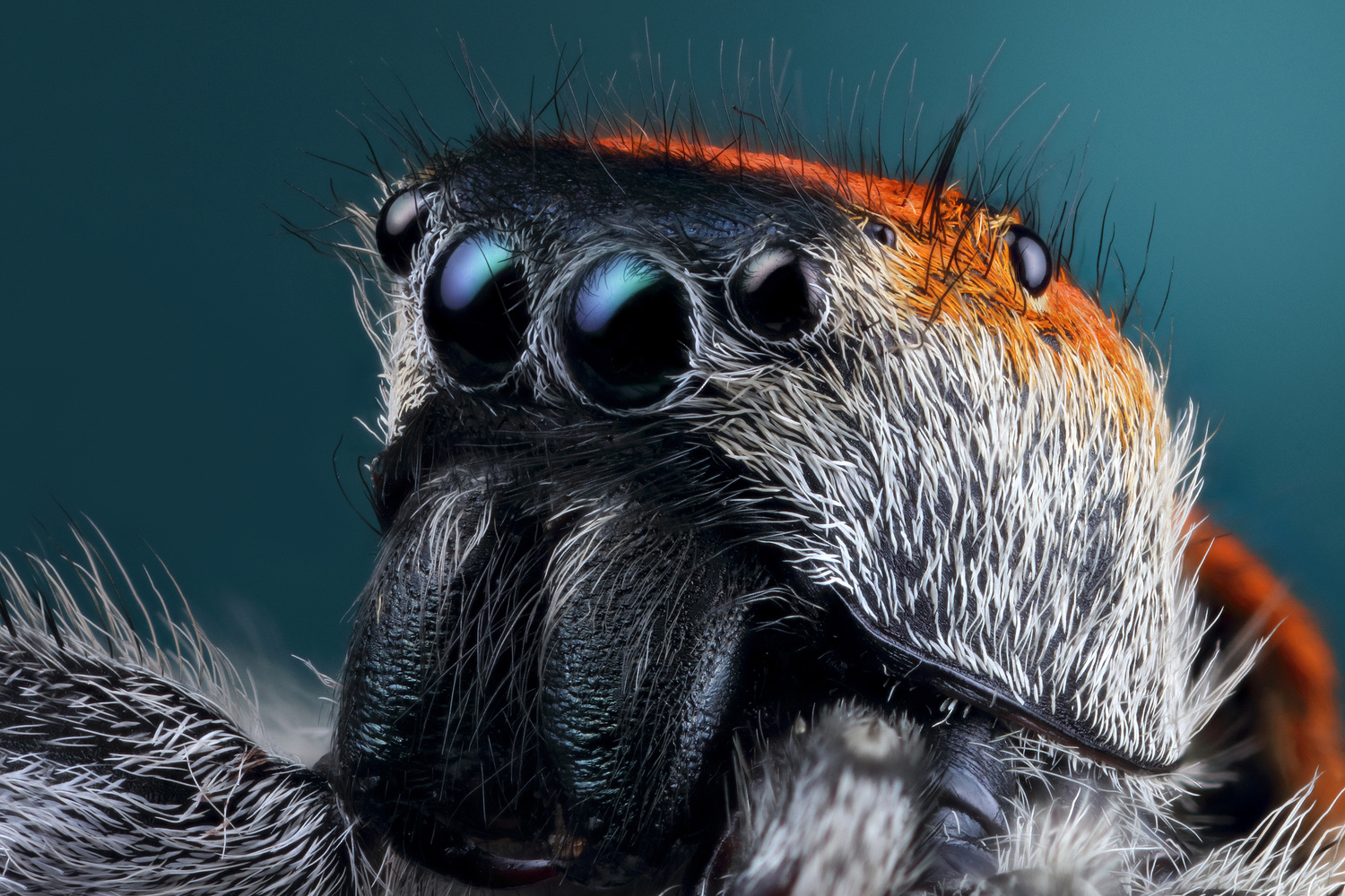 Male Phidippus Whitmani by Andres Moline