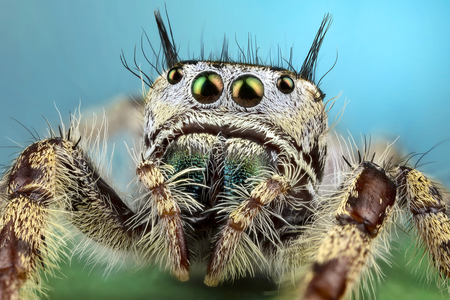 Phidippus texanus female by Andres Moline