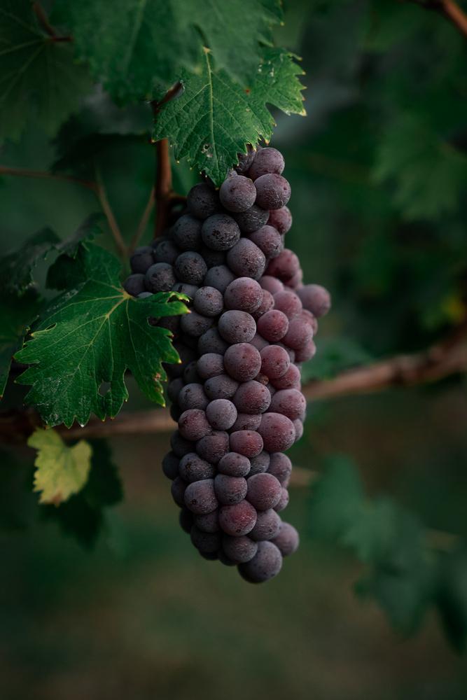 vine by Ilya Nodia