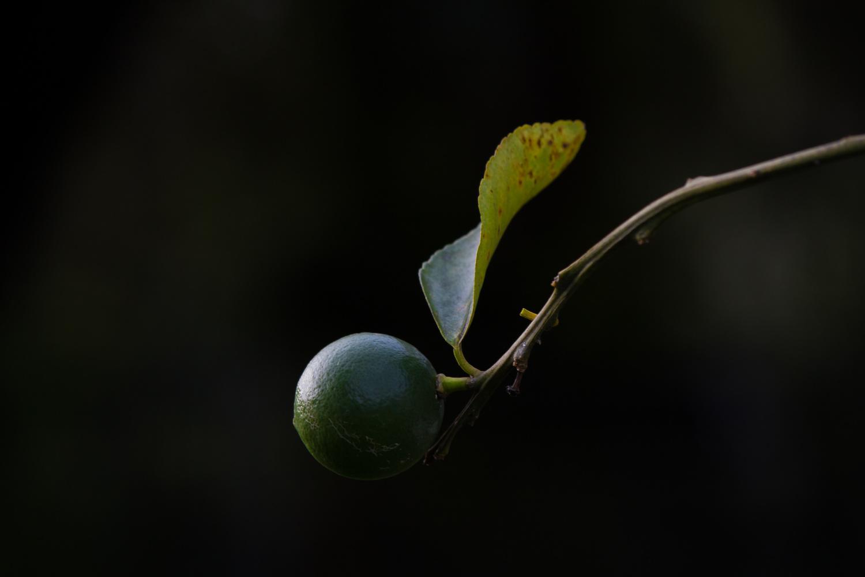 Lemon Tree by Tyler Schotsch