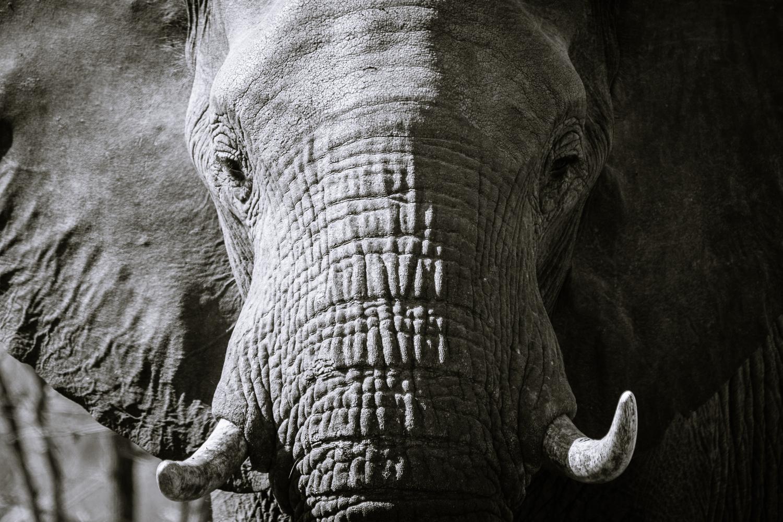 Elephant by Kevin Bojarski
