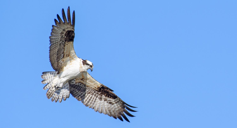 Osprey by Glen Harriman
