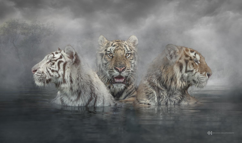 Tigers. by Felix Hernandez