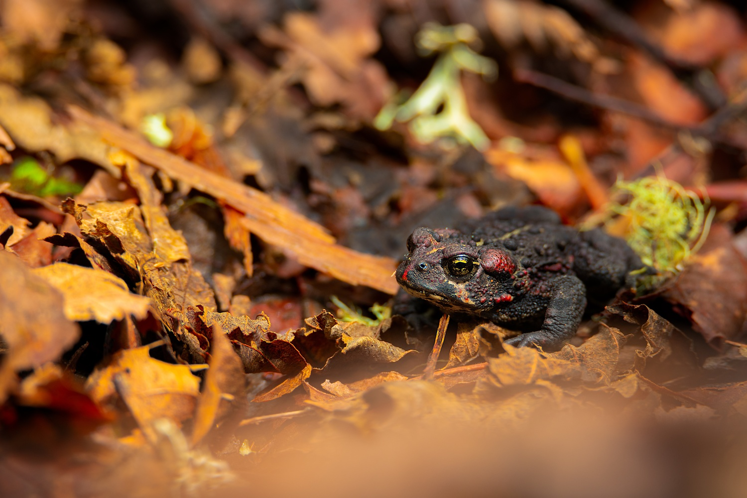 Spring Toad by Brett BARCLAY