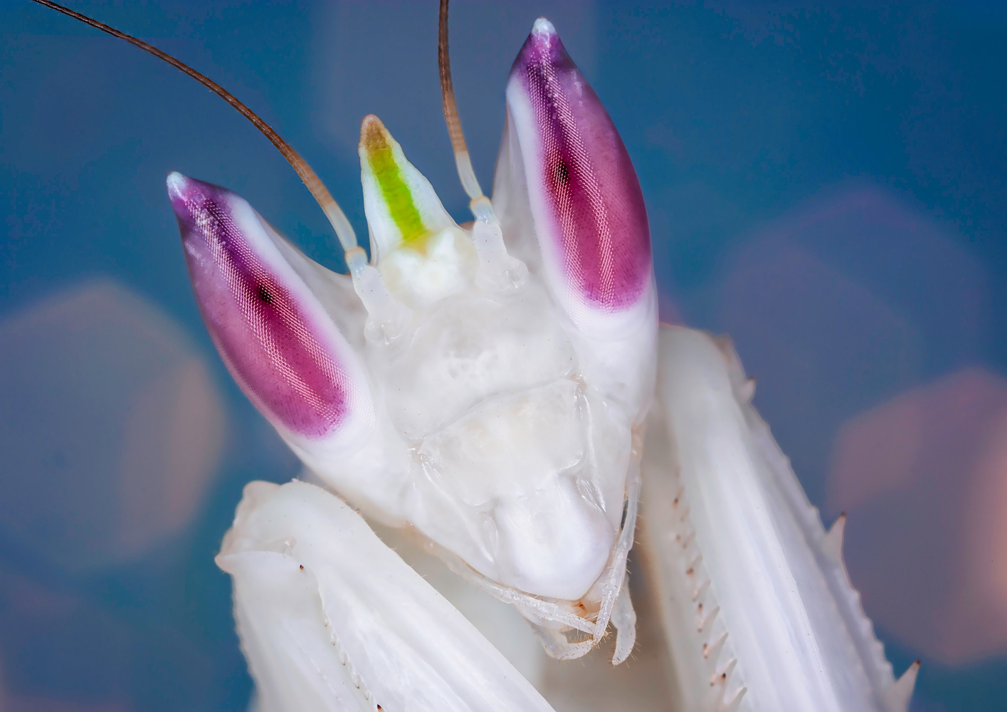 Portrait of an Orchid Mantis by Liza Rock