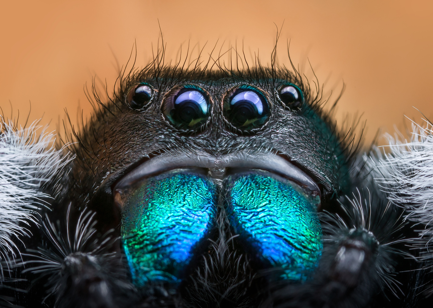 The Handsome Regal Spider by Liza Rock